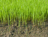 Young rice cultivate . — Stock Photo