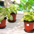 Indoor plants in flowerpots — Stock Photo #19841539