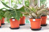 Indoor plants in flowerpots — Stock Photo
