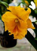 Orchid blommor — Stockfoto