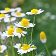 Daisy flowers. - Foto de Stock  