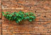 Planter sur vieux mur — Photo