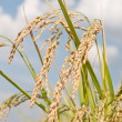 Paddy rice plant — Stock Photo #20000075