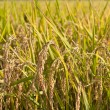 Paddy rice plant — Stock Photo #20000679