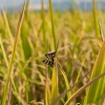 Paddy rice plant — Stock Photo #20000759