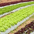 Lettuce field. — Stock Photo
