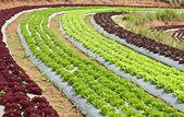 Lettuce field. — Stock Photo