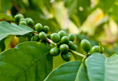 Unripe coffee beans . — Stock Photo