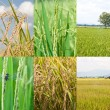 Paddy rice plant — Stock Photo