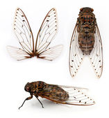 Cicada insect. — Stock Photo