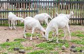Goats . — Stock Photo