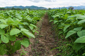 Soy beans plants — Stock Photo