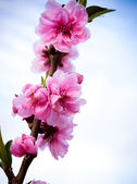 Sakura flower blossom . — Stock Photo
