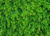 Yeşil çim arka plan — Stok fotoğraf