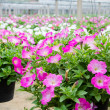Flowers pot nursery . — Stock Photo #35578545