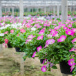 Flowers pot nursery . — Stock Photo #35578611