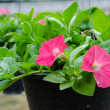 Flowers pot nursery . — Stock Photo #35578673