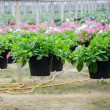 Flowers pot nursery . — Stock Photo #35578697