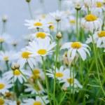 Daisy flower in a pots. — Stock Photo