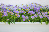 Purple flower pots. — Stock Photo