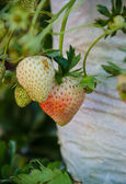 Strawberry Tree . — Stock Photo