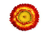 соломенный цветок. — Стоковое фото