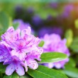spring beautiful violey flowers — Stock Photo