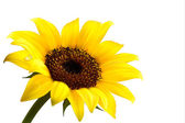 Background with yellow sunflower. Vector — Stock Vector
