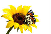 Nature summer sunflower with butterfly. Vector illustration. — Stock Vector