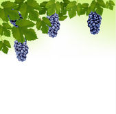 Background with grapes. Vector.  — Stock Vector
