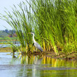 Stock Photo: Stork near to river in Danube Delta