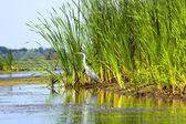 Stork near to the river in Danube Delta — Stock Photo