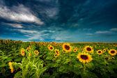 Summer landscape: beauty sunset over sunflowers field — Stock Photo