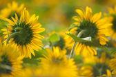 向日葵在夏季中的字段 — 图库照片