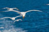 Seagulls flying among blue sky — Stock Photo
