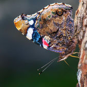 The red admiral (vanessa atalanta) — Stock Photo