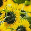 Sunflowers back side in bright day — Stock Photo