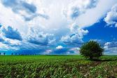曇り空の下で緑の牧草地に単独でツリー — ストック写真
