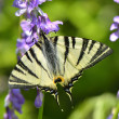 Butterfly in natural habitat (scarce swallowtail) — Stock Photo #32427767