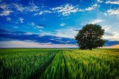 Ensamt träd mot en blå himmel vid solnedgången. — Stockfoto
