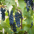 Purple red grapes with green leaves on the vine. fresh fruits — Stock Photo