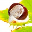 Chestnut with autumn leafs on white background — Stock Photo