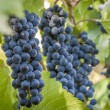 Purple red grapes with green leaves on the vine. fresh fruits — Stock Photo #39112427