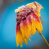 Frozen flower in early morning light — Stock Photo