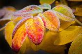 Congelados de folhas de outono — Foto Stock