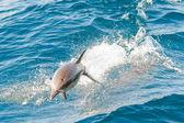 Delfíny skákání — Stock fotografie