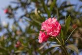 Beautiful lush flowers — Stock Photo