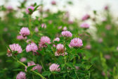 Clover flowers — Stock Photo