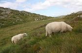 Walking sheep — Stock Photo