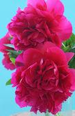 Roze pioenrozen — Stockfoto